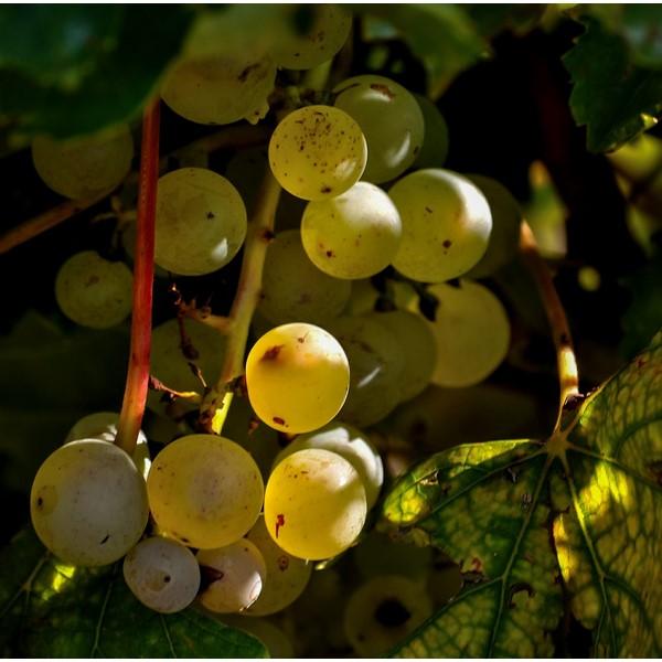 Warum Weißwein auch in der kalten Jahreszeit angesagt ist